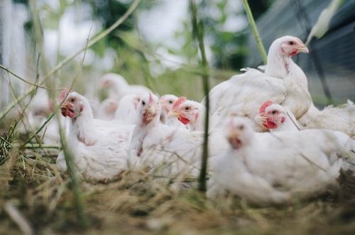 Benessere degli animali: nuovo centro di riferimento per pollame e altri animali di allevamento